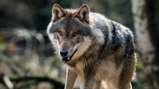 Hat ein Wolf in Wolfsburg einen Rehbock gerissen? Gut möglich, sagt ein Jäger (Symbolbild).