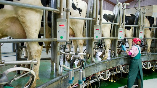 Eine Tierwirtin arbeitet am 15.06.2011 in einem Melkkarussell in Stremmen (Brandenburg). Knapp 150 Brandenburger Milchbauern wollen bis Jahresende ihre Produktion drosseln.