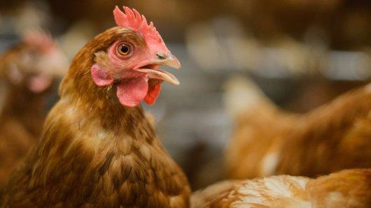 Alarm im Stall! In Wolfenbüttel ist die Geflügelpest ausgebrochen. Auch in Braunschweig gibt es einen Vogelgrippe-Fall. Beides hat jetzt weitreichende Konsequenzen für Geflügelhalter...(Archivbild)