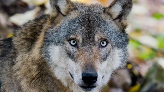 Wölfe stehen im Verdacht, in einem Damwild-Gehege im Landkreis Uelzen fast zwei Dutzend Tiere gerissen zu haben.