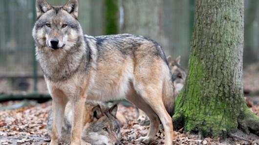 Wölfe haben im vergangenen Jahr in Niedersachsen mindestens 135 Nutztiere gerissen, so die Statistik der Landesregierung für 2015.