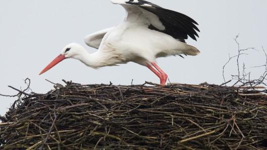 Storch Fridolin hat seinen Stammplatz im NABU-Artenschutzzentrum in Leiferde im Landkreis Gifhorn - auch in diesem Jahr muss er das Nest wohl wieder verteidigen (Archivbild).