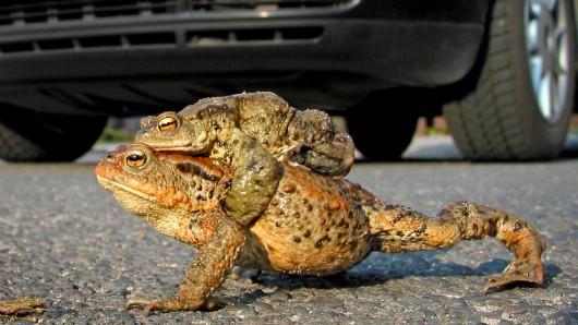 Jetzt aber zügig! Huckepack überqueren zwei Kröten die Straße - hoffentlich, bevor das Auto sie erreicht.