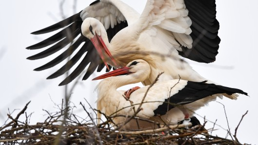 In Leiferde hat sich ein weiteres Storchenpaar nieder gelassen (Symbolbild).