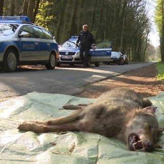 Das Tier ist bei einem Verkehrsunfall getötet worden. (Archivbild)