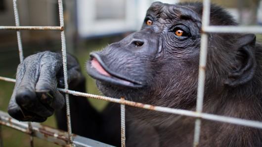 Schimpanse Robby in seinem Gehege im Zirkus Belly in Celle.