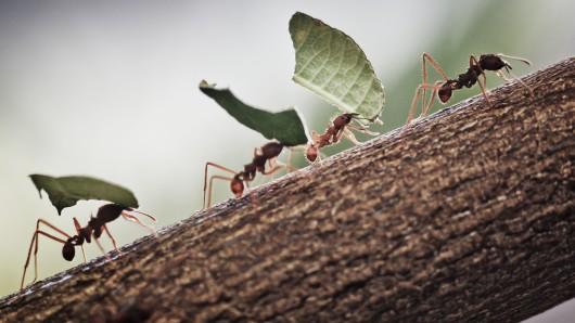 Fleißig: Ameisen tragen zerschnittene Blätter nach Hause