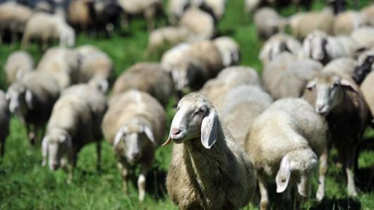 16 Tiere einer Schafherde hat ein Raubtier in Altenau gerissen (Archivbild).