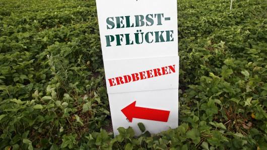 Ein Erdbeerfeld zum Selberpflücken (Symbolbild).