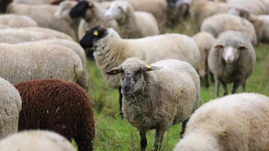 In Velstove wurden vier Schafe getötet - womöglich von einem Wolf (Symbolbild).