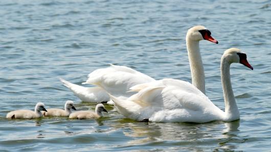 Nach der Rettung war die Schwanen-Familie auf einem nahegelegenen Teich wiedervereint (Archivbild).