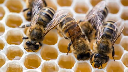 Bienen füllen Honigwaben. Erreger der für Bienen gefährliche amerikanischen Faulbrut sind jetzt in Braunschweig entdeckt worden.