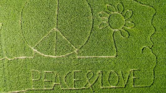 Ein Maislabyrinth zeigt ein riesiges Peace-Zeichen, eine Blume und den Schriftzug Peace & Love in einem Maisfeld in Meinersen im Landkreis Gifhorn.