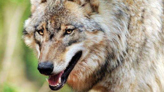 In Müden/Aller im Landkreis Gifhorn ist am Freitag ein Wolf gesichtet worden. Er näherte sich einer Schafherde. (Symbolbild)