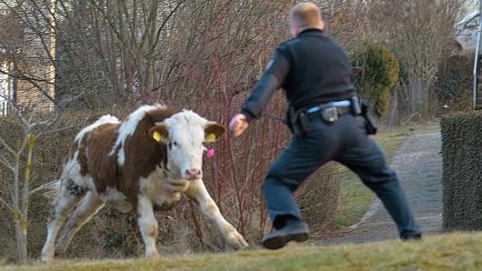 Die Polizei als Bullenfänger: Bei den Peiner Beamten ging's am Samstag echt tierisch zu (Archivbild).