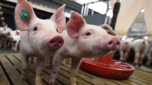 Ferkel dürfen ab 2019 nur noch unter Betäubung kastriert werden. Beim Treffen der Agrarminister von Bund und Ländern in Münster wird darüber diskutiert. (Symbolbild)