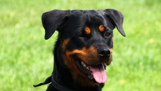 Rottweilerhündin Lexi sucht ein neues Zuhause.