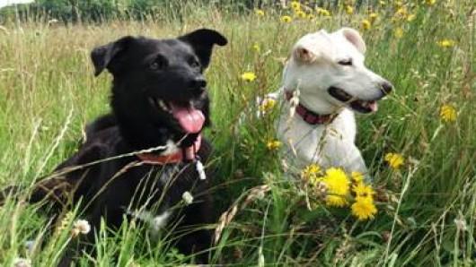 Flocke und Lolli fühlen sich auf der Hundewiese pudelwohl.