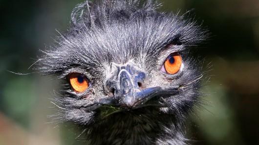 Ein Emu (Symbolbild).