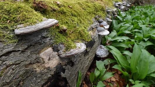 Bärlauch wächst neben einem umgestürzten Baum im Naturwald (Symbolbild).