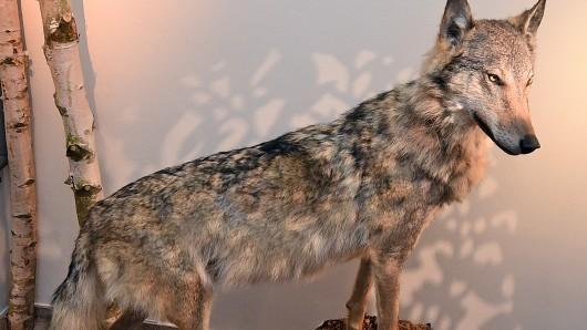 Noch bis zum 15. Oktober ist der ausgestopfte Wolf Kurti in Hannover zu sehen, dann geht's weiter nach Lüneburg.
