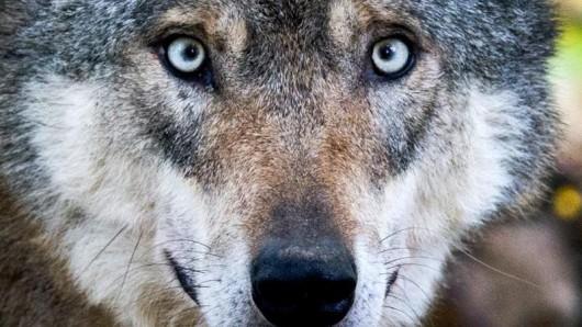 Wolf in einem Gehege in Springe (Niedersachsen).