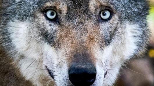 Für den Deutschen Jagdverband ist die Herangehensweise des amtlichen Naturschutzes beimThema Wolf naiv.
