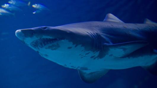Ein Sandtigerhai. (Archivbild)