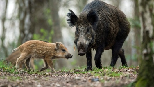 Die Aujeskysche Krankheit ist eine weltweit verbreitete, virusbe-dingte und hochansteckende Allgemeinerkrankung vieler Säugetierar-ten, wobei das Wild- und Hausschwein der Hauptwirt sind (Symbolbild).
