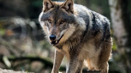 Ein Wolfsrüde aus Niedersachsen soll mehrere Tiere im Schwarzwald gerissen haben (Archivbild).