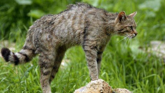 Wildkatzen sind in Niedersachsen noch immer eine gefährdete Tierart. (Archivfoto)