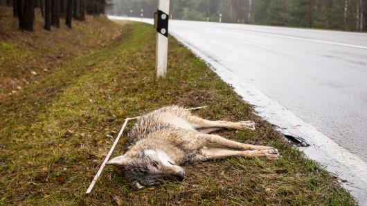 Bei der Nachschau stellte sich heraus, dass es sich tatsächlich um einen Wolf handelte, der da tot im Straßengraben lag (Archivbild).