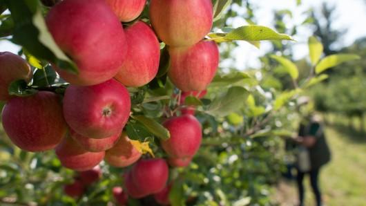 Äpfel brauchen die Sonne - zu viel ist aber auch nicht gesund. Jetzt droht ihnen ein Sonnenbrand. (Symbolbild)