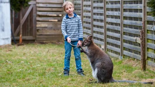 Für den Landkreis Celle ist das Gehege von Känguru Viggo zu klein. Der siebenjährige Robin spielt gern mit dem Rotnackenwallaby.