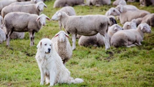 Der Nabu setzt beim Herdenschutz auf Schutzhunde und Zäune (Archivbild).