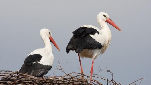 Storch Fridolin (r) steht neben seiner neuen Partnerin Mai im Storchennest.
