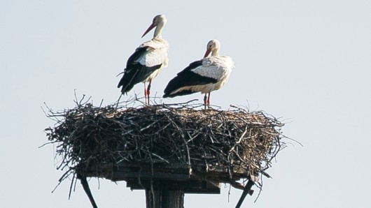Sie sind wieder da: Seit 2014 brütet jenes Storchenpaar in der Weddeler Grabenniederung bei Riddagshausen - Anfang Mai erwarten sie wieder Nachwuchs.