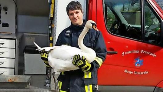 Ein Mitglied der Freiwilligen Feuerwehr Walsrode mit dem geretteten Schwan.