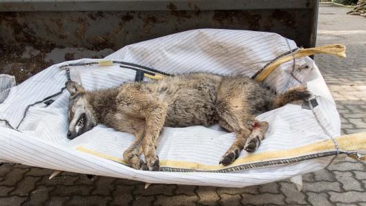 Der erst einjährige Wolf wurde bei dem Unfall tödlich verletzt.