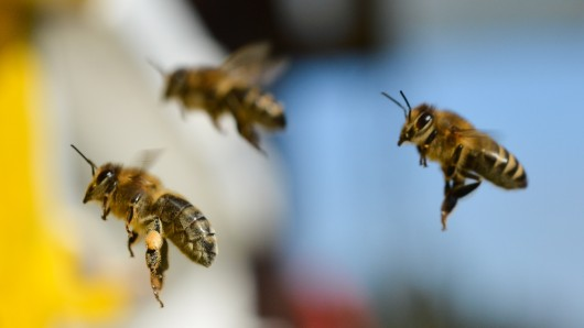 Wildbienen im Anflug auf eine Blüte (Archivbild).
