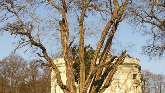 Die Robinie beim Richmond-Schloss ist noch nicht geschützt, als Naturdenkmal komm sie allerdings in Frage.