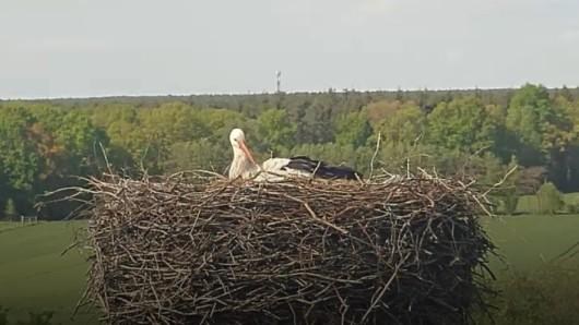 Schon seit einigen Tagen hockt Mai auf den Eiern. Wie viele es werden, ist noch unklar.