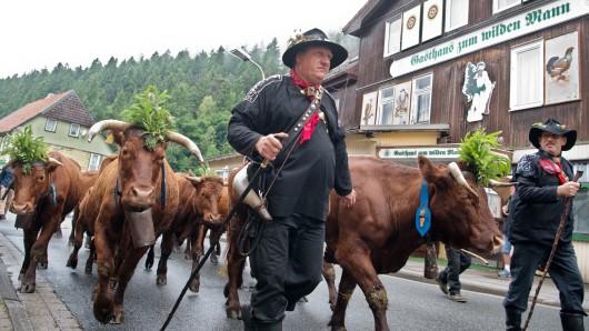 Austrieb der Damenkapelle: Am heutigen Pfingstsonntag findet in Wildemann, einem Stadtteil von Clausthal-Zellerfeld, der traditionelle Viehaustrieb statt. Wegen der umgehängten Glocken werden die Kühe auch Damenkapelle genannt (Archivbild).