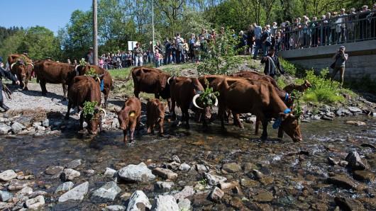 Tausende Schaulustige beobachteten, wie die Kühe durch die Innerste bei Wildemann getrieben wurden.