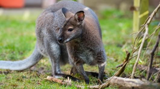 Das Känguru Viggo sitzt im Garten. Das Veterinäramt Celle hat einer niedersächsischen Familie das Tier weggenommen (Archivbild).