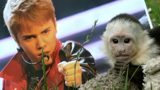 Das Weißschulterkapuzineräffchen Mally hat bei Justin Bieber gelebt, bevor es im Serengeti-Park in Hodenhagen eingezogen war.