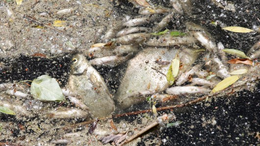 Niedriger Sauerstoffgehalt im Wasser lässt Fische sterben (Archivbild).