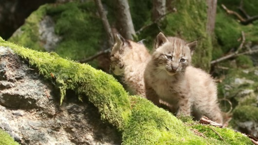 Im Harz sind die scheuen Luchse nicht nur wieder heimisch geworden, sie pflanzen sich auch fleißig fort (Archivbild).