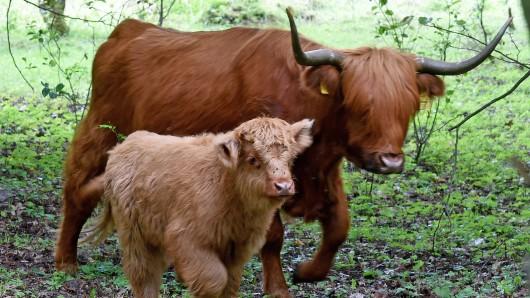 Das schottische Hochlandrind und sein Kalb sind am frühen Freitagmorgen von einer kahlen Weide ausgebüxt und zunächst in Richtung Dibbesdorfer Holz gezogen. In einem Maisfeld wurden die beiden dann am Abend gefunden (Symbolbild).