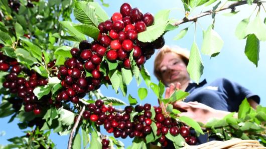 Wer noch Kirschen essen möchte, sollte sich beeilen: Durch die Wärme werden die Früchte früher reif. (Symbolbild)
